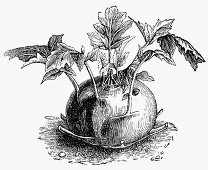 Kohlrabi (Illustration)