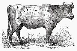 Ox (Illustration)