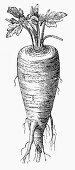 Parsnip (Illustration)