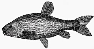 Tench (Illustration)