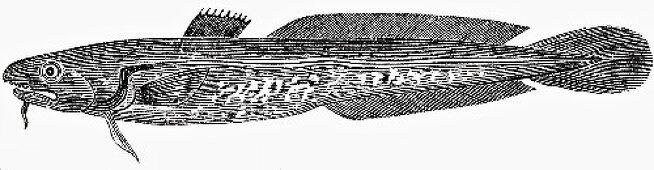 Burbot (Illustration)