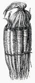 A bundle of salsify (Illustration)