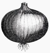 Onion (Illustration)