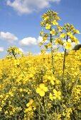 Rape flowers in the field