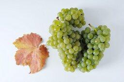 Green grapes, variety Fontanara, with leaf