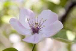Almond blossom (close-up)