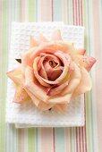 Pink rose on white towel