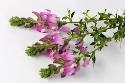 Spiny restharrow with flowers