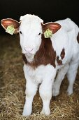 A calf with ear tags in a barn