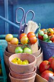 Various types of freshly picked tomatoes