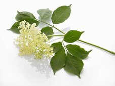 Elderflowers on a white surface
