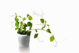 A pea plant growing in a flowerpot