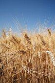 Ears of durum wheat in a field