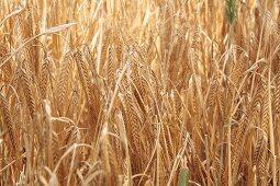 Winter barley in a field