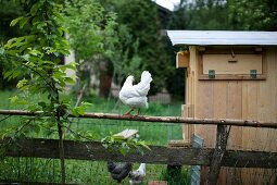 A chicken in a garden