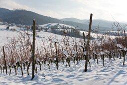 Various vines in the winter (Markgräflerland region)