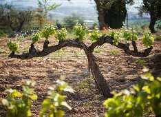 A vineyard with young vines