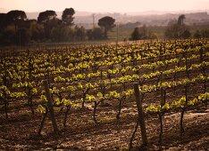 A vineyard in Spain