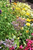 Flowering borage and yellow flowers in garden