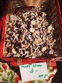 Kahlköpfe (Psilocybe caerulipes) Carouge Markt, Genf, Schweiz
