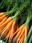 Karotten im Bund, Carouge Markt, Genf, Schweiz