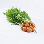 Carrots (daucus carota)