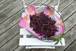 Fresh elderberries in a wire basket on a garden chair
