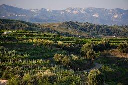 Vineyards belonging to the Clos Mogador winery, Catalonia