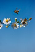 Honeybees Foraging for Pollen and Nectar from Chamomile Flowers; Blue Sky