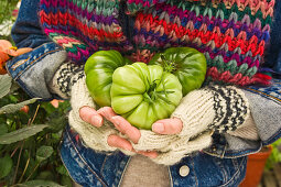 Hands holding three green tomatoes (type: costoluto florentino)