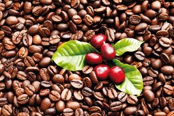 Coffee beans, fresh and roasted