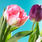 One pink and one purple tulip