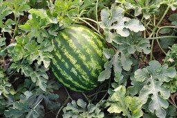 Watermelon Growing in a Garden