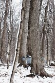 Maple Trees with Galvanized Buckets for Collecting Sap