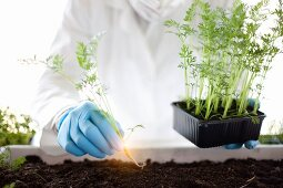 A scientist planting luminous carrots