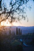 Cypress tress in the Pacina winery by sunset in Chianti Classico