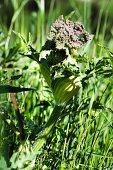 Common hogweed (Heacleum sphondylium)
