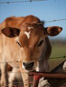 A calf stretching its head through a barbed wire fence