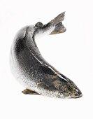 Whole Fresh Salmon on a White Background