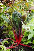 Red-stemed organic chard in a garden
