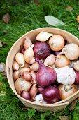 Freshly harvested organic onions