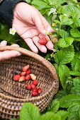 Fragaria vesca, Strawberry, Wild strawberry