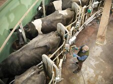 A farmer connecting dairy cows to a milking machine
