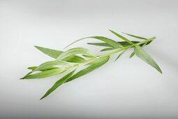 Tarragon (Artemisia Dracunculus)