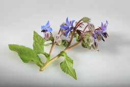 Borage with blue flowers (Borago officinalis)