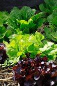 Three varieties of lettuce in a vegetable bed