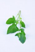 Good King Henry (Lincolnshire spinach)