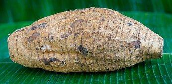 Maranta root (Maranta arundinacea)