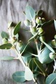 Australian eucalyptus as a table decoration