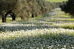 An olive grove in Tunisia